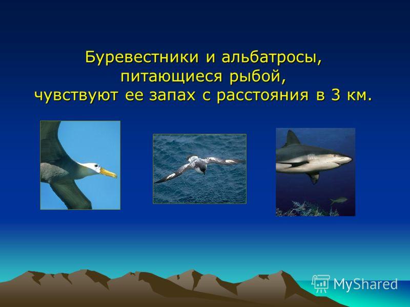 Буревестники и альбатросы, питающиеся рыбой, чувствуют ее запах с расстояния в 3 км.