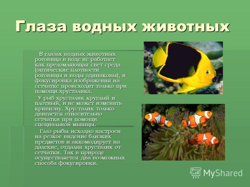 Глаза водных животных В глазах водных животных роговица в воде не работает как преломляющая свет среда (оптические плотности роговицы и воды одинаковы), и фокусировка изображения на сетчатке происходит только при помощи хрусталика. В глазах водных жи