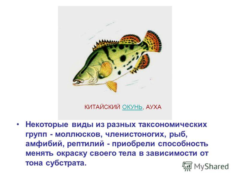 Некоторые виды из разных таксономических групп - моллюсков, членистоногих, рыб, амфибий, рептилий - приобрели способность менять окраску своего тела в зависимости от тона субстрата. КИТАЙСКИЙ ОКУНЬ, АУХАОКУНЬ