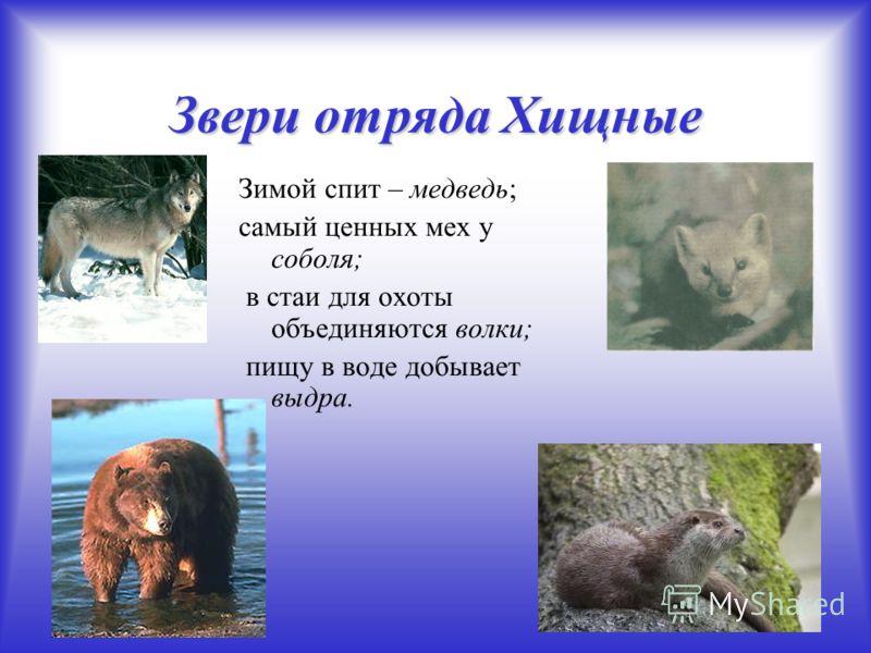 Звери отряда Хищные Зимой спит – медведь; самый ценных мех у соболя; в стаи для охоты объединяются волки; пищу в воде добывает выдра.