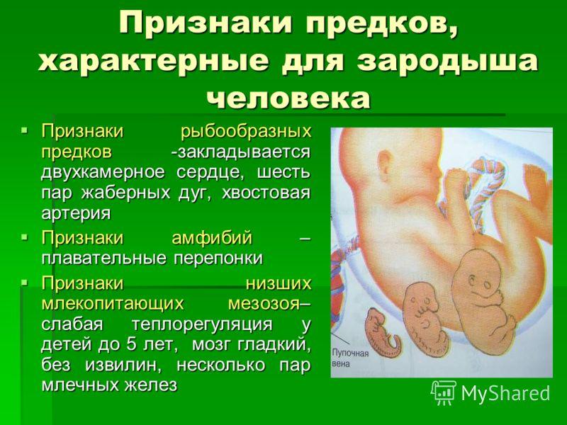 Признаки предков, характерные для зародыша человека Признаки рыбообразных предков -закладывается двухкамерное сердце, шесть пар жаберных дуг, хвостовая артерия Признаки рыбообразных предков -закладывается двухкамерное сердце, шесть пар жаберных дуг,