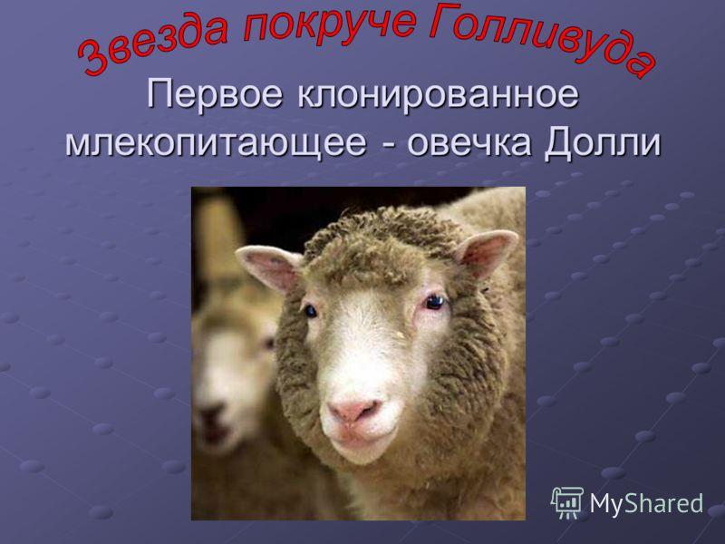 Первое клонированное млекопитающее - овечка Долли