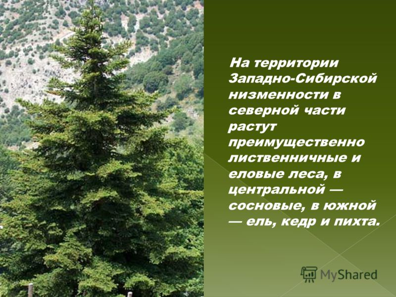 На территории Западно-Сибирской низменности в северной части растут преимущественно лиственничные и еловые леса, в центральной сосновые, в южной ель, кедр и пихта.