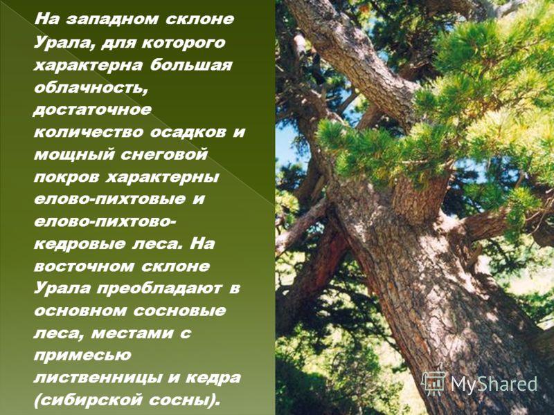 На западном склоне Урала, для которого характерна большая облачность, достаточное количество осадков и мощный снеговой покров характерны елово-пихтовые и елово-пихтово- кедровые леса. На восточном склоне Урала преобладают в основном сосновые леса, ме