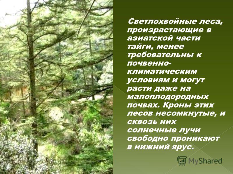 Светлохвойные леса, произрастающие в азиатской части тайги, менее требовательны к почвенно- климатическим условиям и могут расти даже на малоплодородных почвах. Кроны этих лесов несомкнутые, и сквозь них солнечные лучи свободно проникают в нижний яру