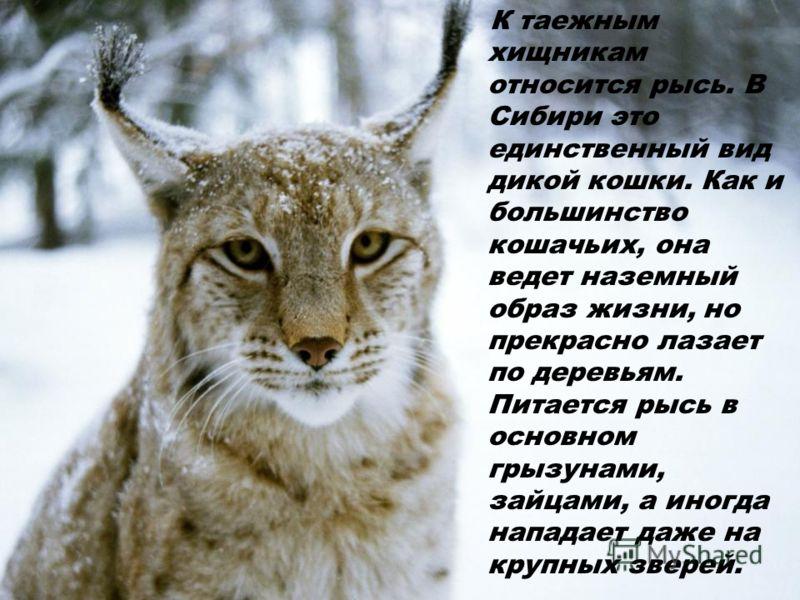 К таежным хищникам относится рысь. В Сибири это единственный вид дикой кошки. Как и большинство кошачьих, она ведет наземный образ жизни, но прекрасно лазает по деревьям. Питается рысь в основном грызунами, зайцами, а иногда нападает даже на крупных