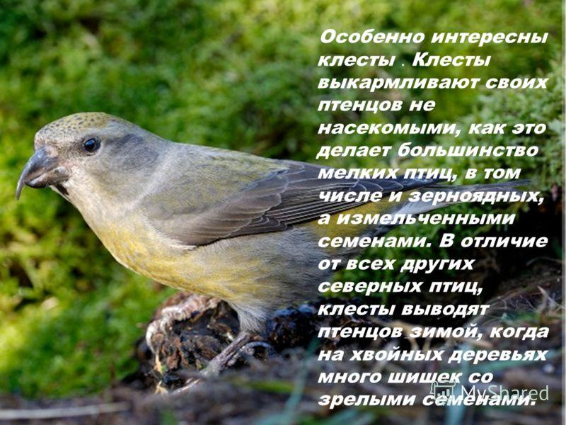 Особенно интересны клесты. Клесты выкармливают своих птенцов не насекомыми, как это делает большинство мелких птиц, в том числе и зерноядных, а измельченными семенами. В отличие от всех других северных птиц, клесты выводят птенцов зимой, когда на хво