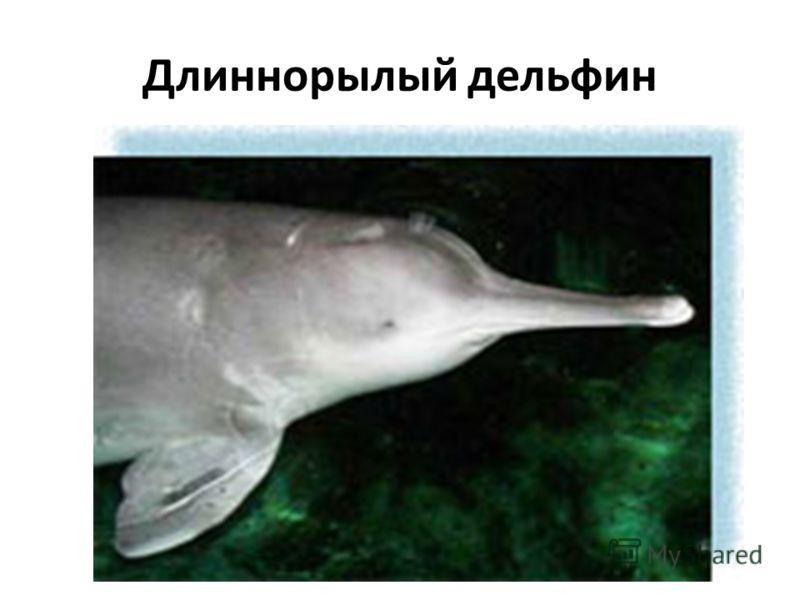 Длиннорылый дельфин