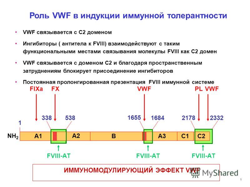 1 Природный стабилизатор фактора VIII: VWF В естественной плазме практически весь циркулирующий фактор VIII связан с белком- носителем – фактором Виллебранда Функции фактора Виллебранда: 1. VWF защищает FVIII от преждевременной активации. 2. VWF жизн