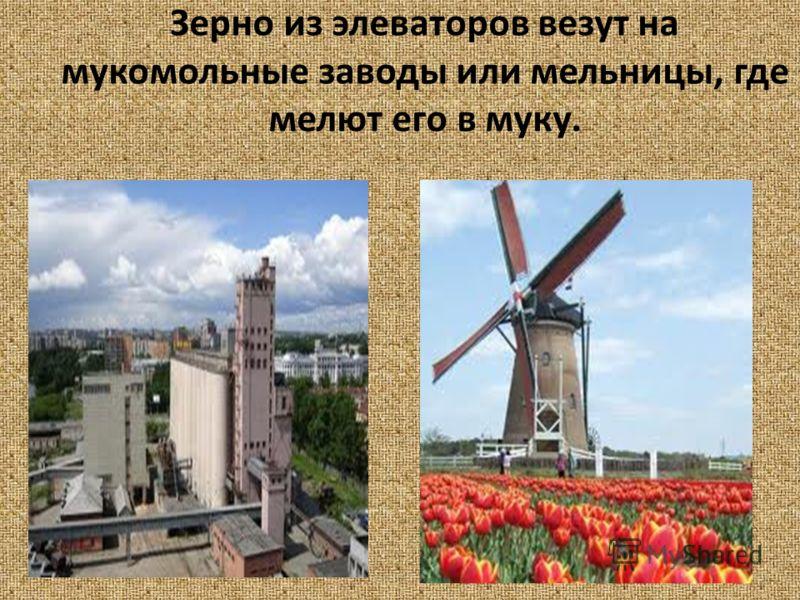 Зерно из элеваторов везут на мукомольные заводы или мельницы, где мелют его в муку.