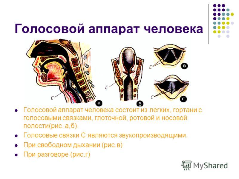 Голосовой аппарат человека Голосовой аппарат человека состоит из легких, гортани с голосовыми связками, глоточной, ротовой и носовой полости(рис. а,б). Голосовые связки С являются звукопроизводящими. При свободном дыхании (рис.в) При разговоре (рис.г