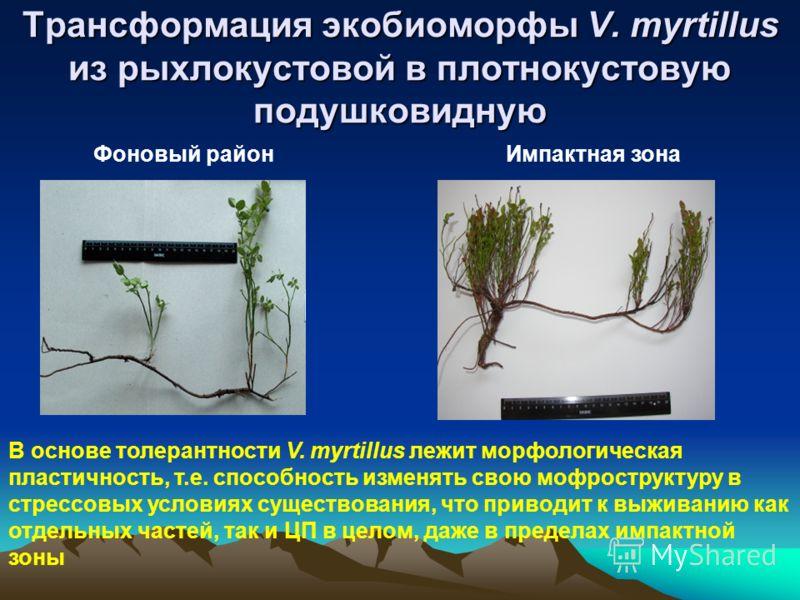Трансформация экобиоморфы V. myrtillus из рыхлокустовой в плотнокустовую подушковидную Фоновый районИмпактная зона В основе толерантности V. myrtillus лежит морфологическая пластичность, т.е. способность изменять свою мофроструктуру в стрессовых усло