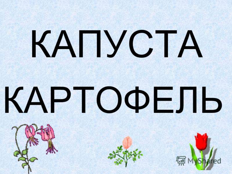 КАПУСТА КАРТОФЕЛЬ