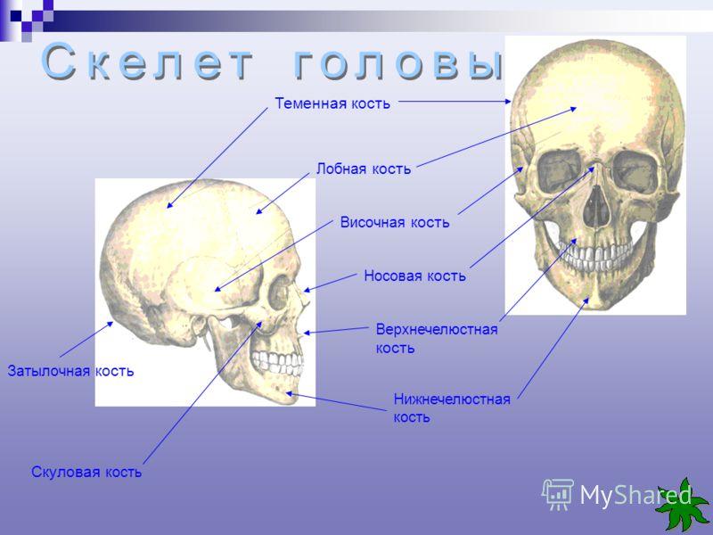 Теменная кость Лобная кость Височная кость Носовая кость Верхнечелюстная кость Нижнечелюстная кость Скуловая кость Затылочная кость