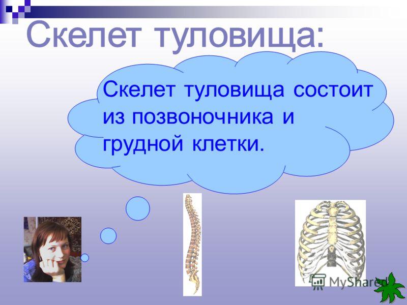 Скелет туловища состоит из позвоночника и грудной клетки.