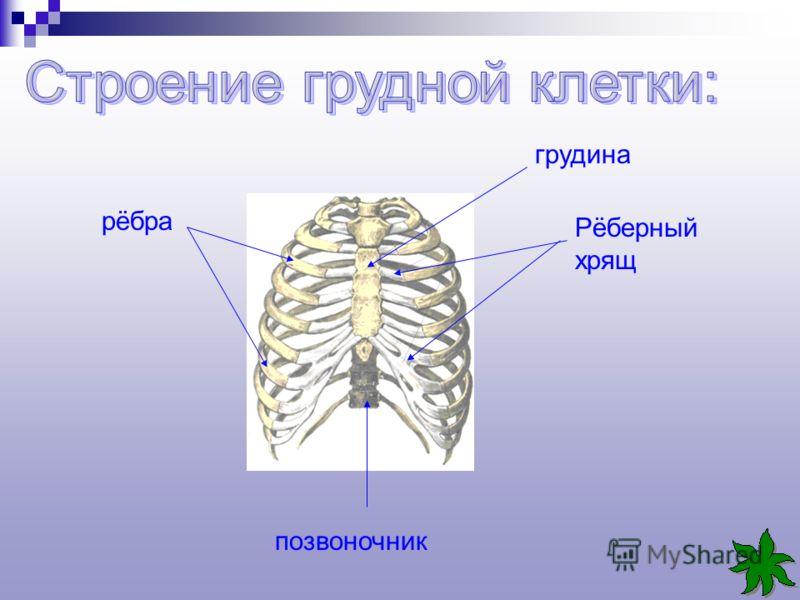 грудина Рёберный хрящ рёбра позвоночник