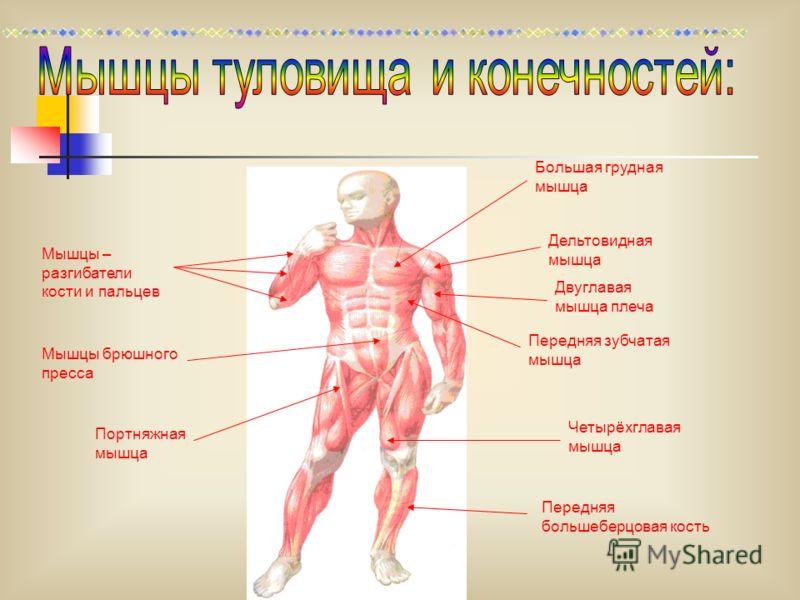 Мышцы – разгибатели кости и пальцев Большая грудная мышца Передняя зубчатая мышца Дельтовидная мышца Двуглавая мышца плеча Мышцы брюшного пресса Четырёхглавая мышца Передняя большеберцовая кость Портняжная мышца