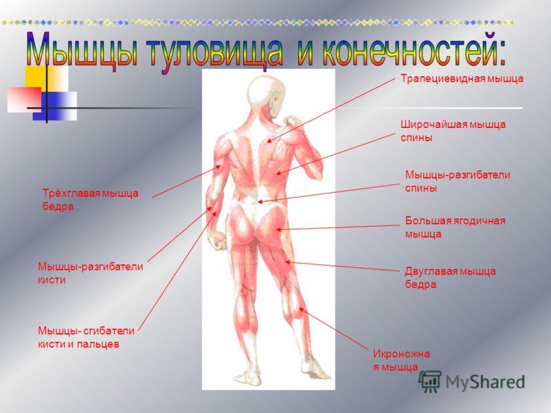 Трапециевидная мышца Широчайшая мышца спины Мышцы-разгибатели спины Большая ягодичная мышца Двуглавая мышца бедра Икроножна я мышца Трёхглавая мышца бедра Мышцы-разгибатели кисти Мышцы- сгибатели кисти и пальцев