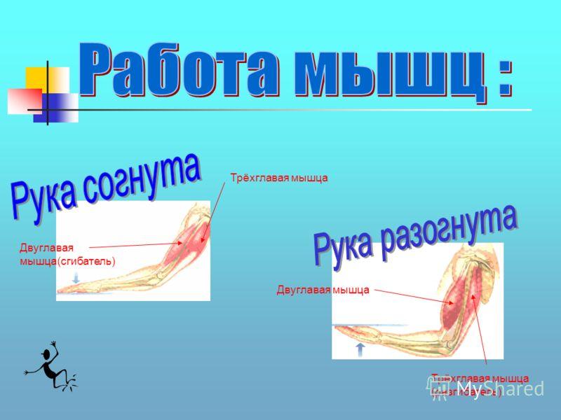 Двуглавая мышца(сгибатель) Трёхглавая мышца Двуглавая мышца Трёхглавая мышца (разгибатель)