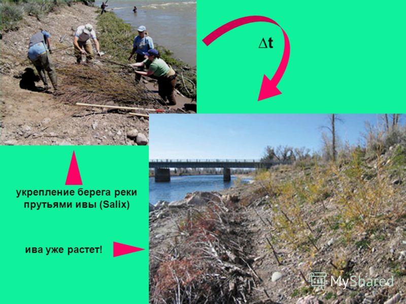 укрепление берега реки прутьями ивы (Salix) ива уже растет! t