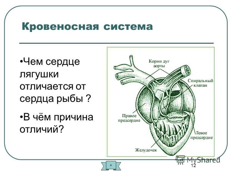 12 Кровеносная система Чем сердце лягушки отличается от сердца рыбы ? В чём причина отличий? а