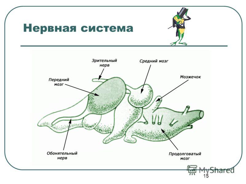 15 Нервная система