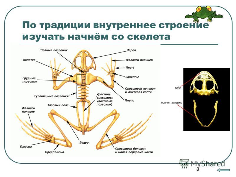 8 По традиции внутреннее строение изучать начнём со скелета