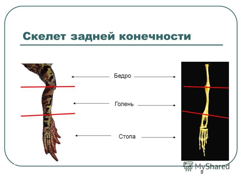 9 Скелет задней конечности Бедро Голень Стопа