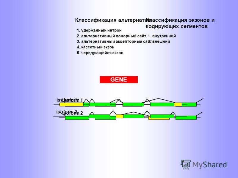 GENE isoform 1 isoform 2 2. альтернативный донорный сайт Классификация альтернатив 1. удержанный интрон 3. альтернативный акцепторный сайт 4. кассетный экзон 5. чередующийся экзон 1. внутренний Классификация экзонов и кодирующих сегментов 3. внешний