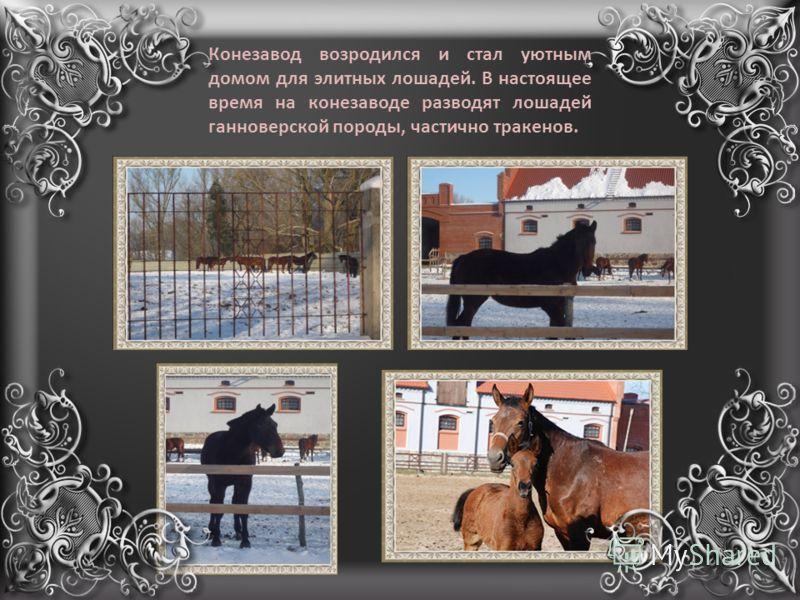 Конезавод возродился и стал уютным домом для элитных лошадей. В настоящее время на конезаводе разводят лошадей ганноверской породы, частично тракенов.