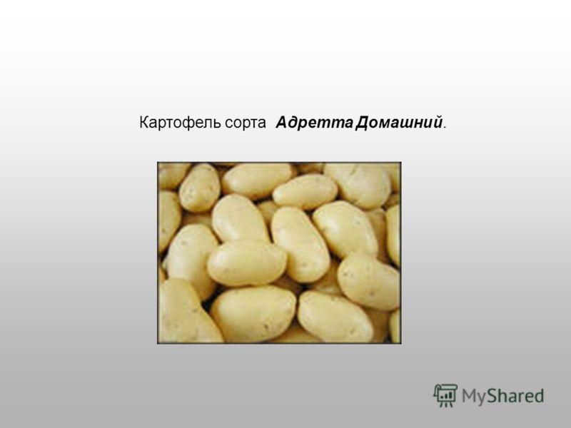Картофель сорта Адретта Домашний.