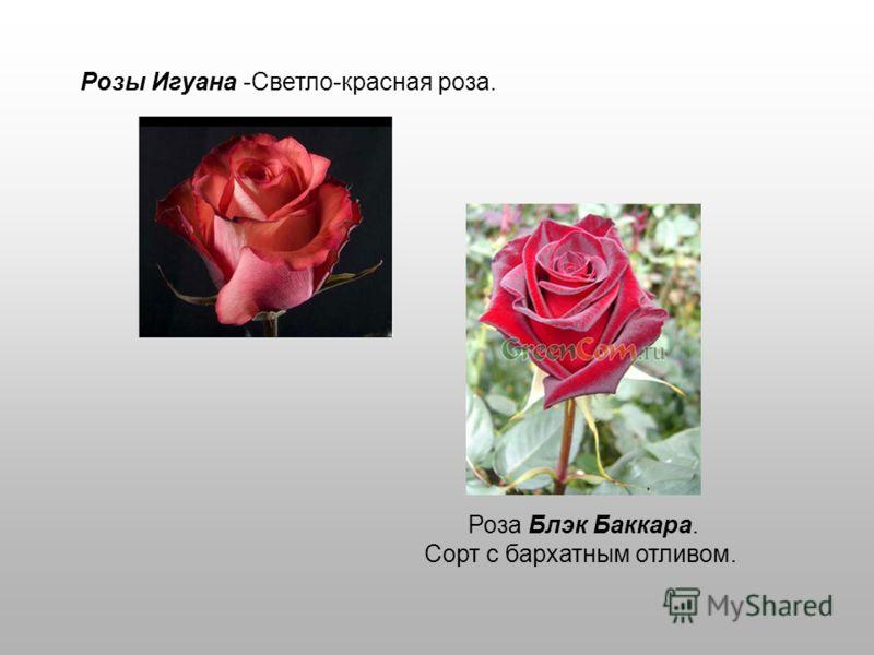 Розы Игуана -Светло-красная роза. Роза Блэк Баккара. Сорт с бархатным отливом.