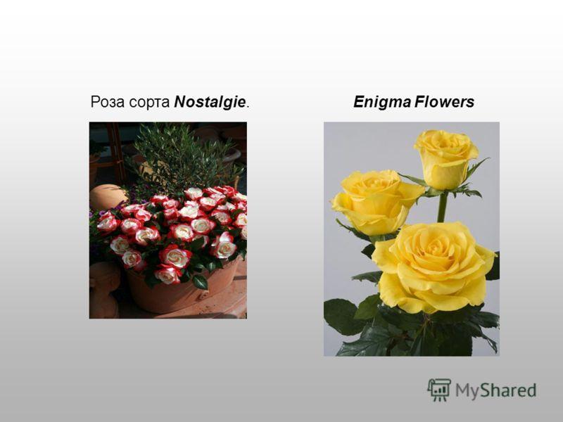 Роза сорта Nostalgie. Enigma Flowers