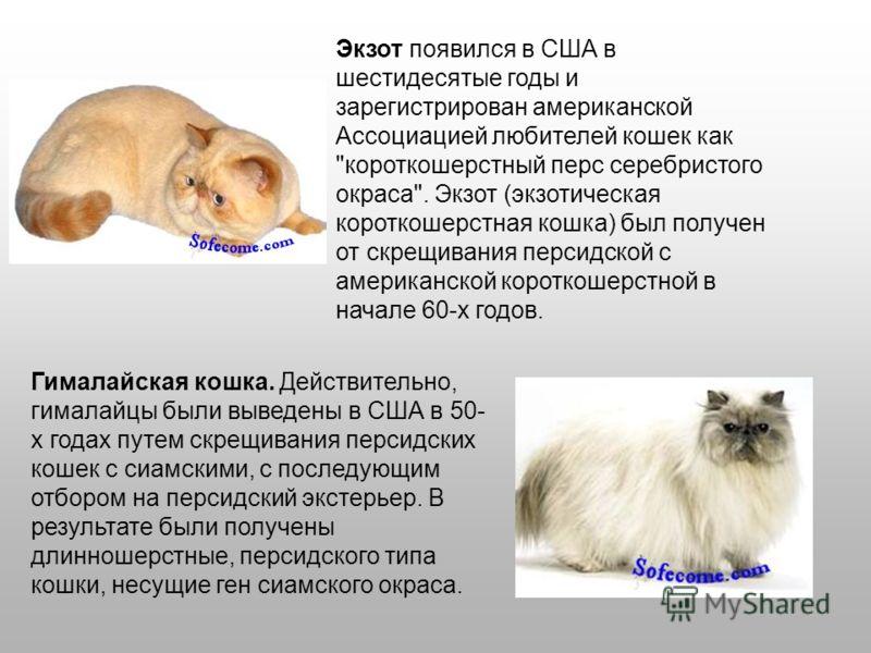 Экзот появился в США в шестидесятые годы и зарегистрирован американской Ассоциацией любителей кошек как