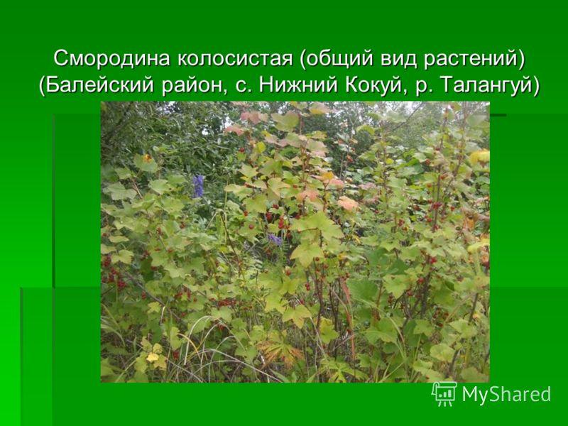 Смородина колосистая (общий вид растений) (Балейский район, с. Нижний Кокуй, р. Талангуй)