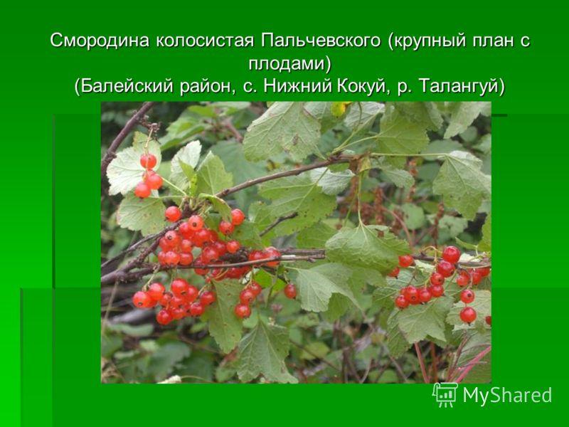Смородина колосистая Пальчевского (крупный план с плодами) (Балейский район, с. Нижний Кокуй, р. Талангуй)