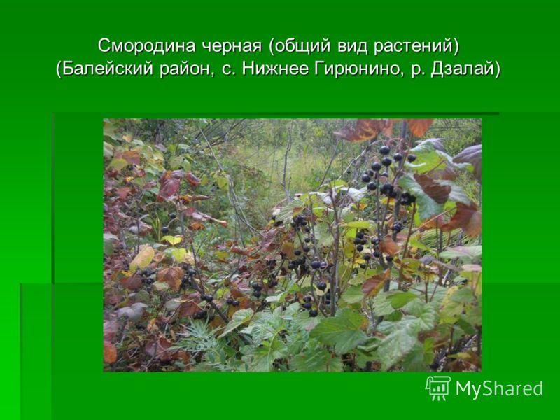 Смородина черная (общий вид растений) (Балейский район, с. Нижнее Гирюнино, р. Дзалай)