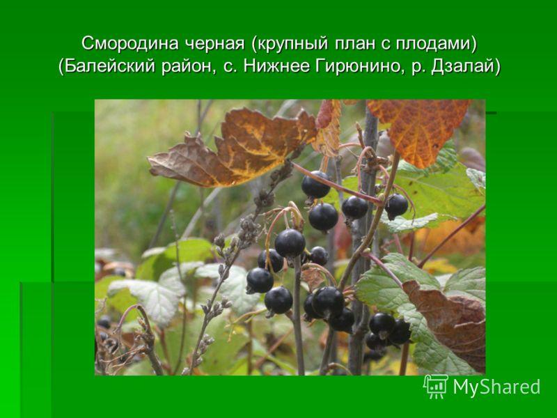 Смородина черная (крупный план с плодами) (Балейский район, с. Нижнее Гирюнино, р. Дзалай)
