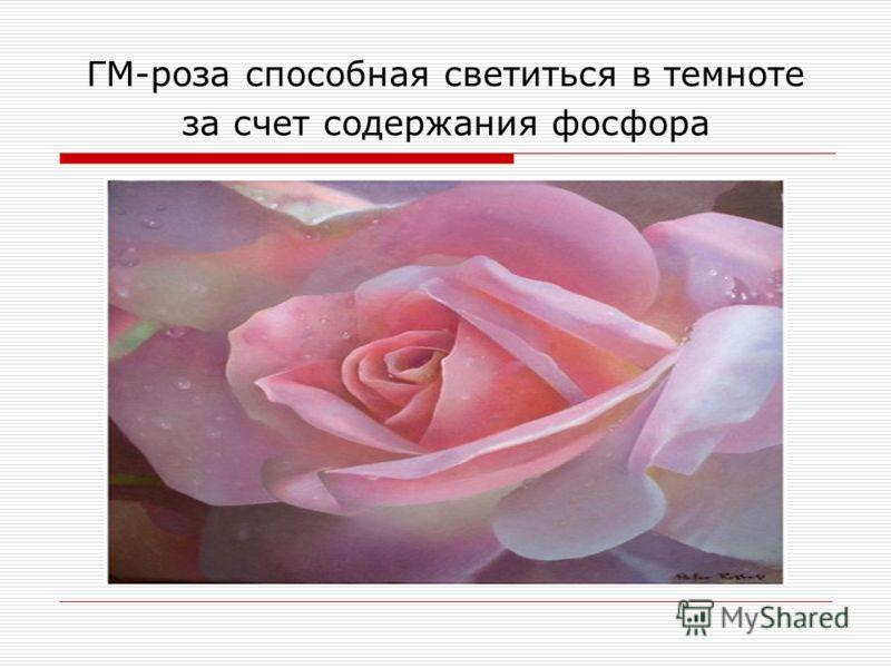 ГМ-роза способная светиться в темноте за счет содержания фосфора