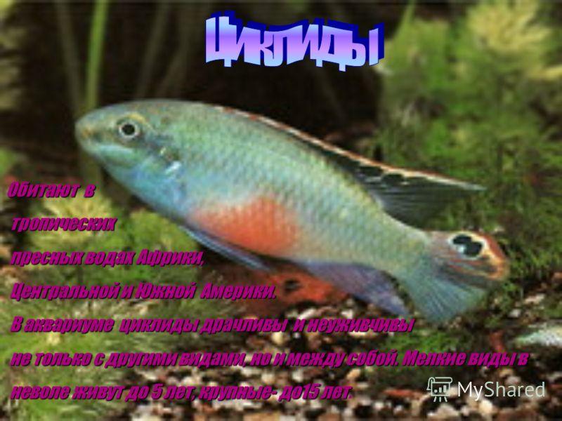 Петушки- одни из самых популярных в мире аквариумных рыб. В России их разводят уже с конца 19 века Эти рыбки могут дышать атмосферным воздухом и поэтому могут жить в небольших ёмкостях. Петушки очень драчливы, за что получили другое название- борцовы
