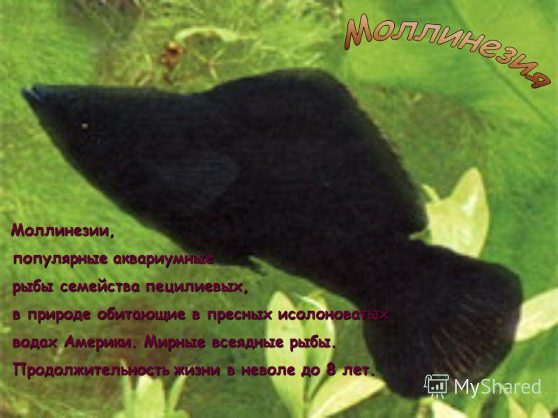 Скалярии обитают в Южной Америке в системах рек Амазонка и Ориноко. Популярные аквариумные рыбы, известны в России с начала 20 века.
