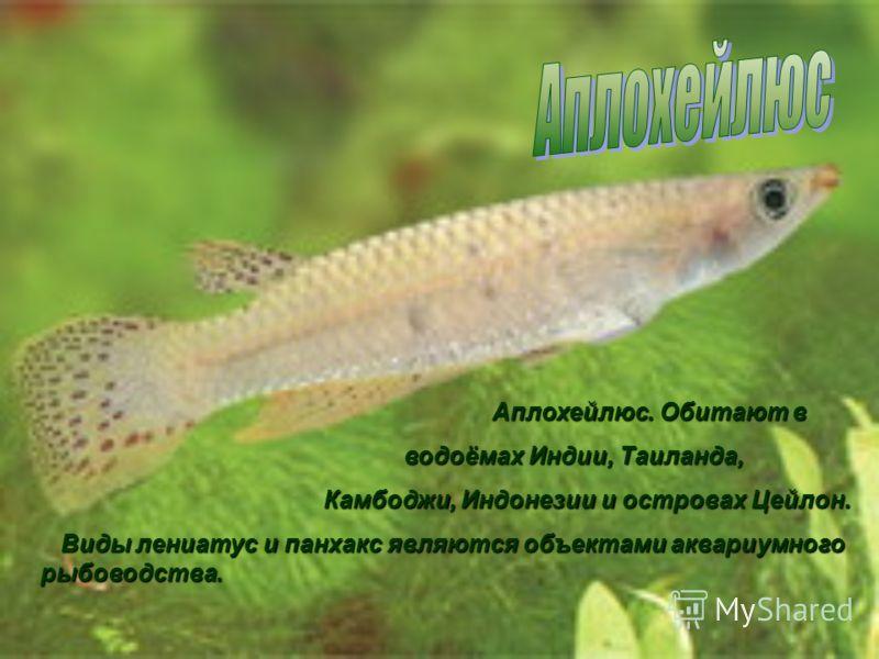 Апистограмы обитают в реках Южной Америки, держатся парами. Размеры самца 7см самки 5см (в аквариумах меньше)