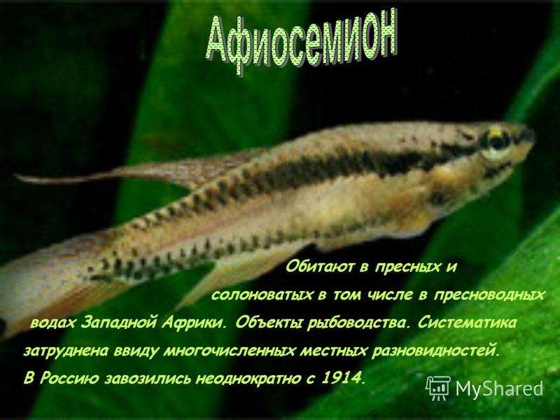Аплохейлюс. Обитают в водоёмах Индии, Таиланда, Камбоджи, Индонезии и островах Цейлон. Виды лениатус и панхакс являются объектами аквариумного рыбоводства.