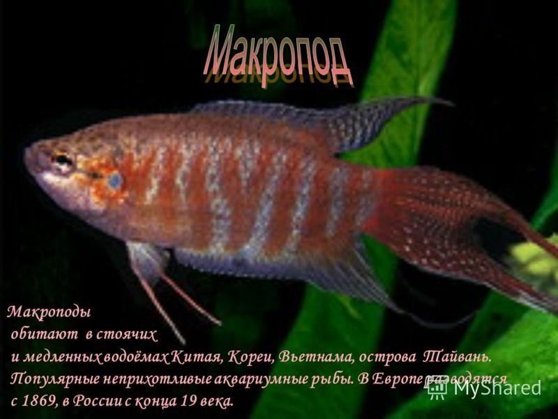 Обитают в пресных и солоноватых в том числе в пресноводных водах Западной Африки. Объекты рыбоводства. Систематика затруднена ввиду многочисленных местных разновидностей. В Россию завозились неоднократно с 1914.