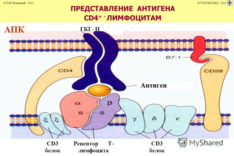 ПРЕДСТАВЛЕНИЕ АНТИГЕНА СD4 + - ЛИМФОЦИТАМ Антиген CD3 белок Рецептор Т- лимфоцита СD3 белок ГКГ- II АПК © П.Ф.Литвицкий, 2004 © ГЭОТАР-МЕД, 2004