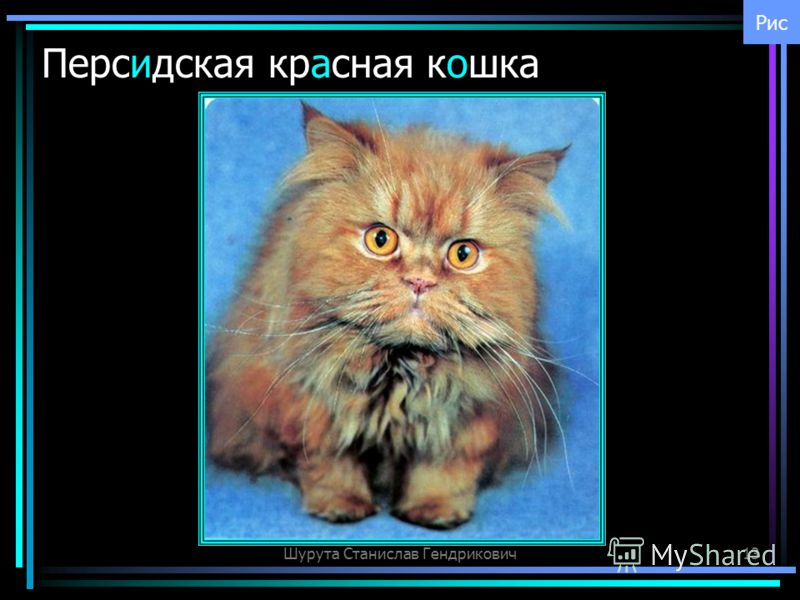 Шурута Станислав Гендрикович13 Персидская красная кошка Рис