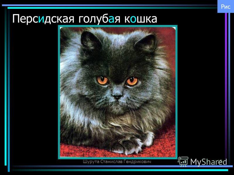 Шурута Станислав Гендрикович15 Персидская голубая кошка Рис