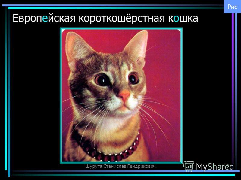 Шурута Станислав Гендрикович5 Европейская короткошёрстная кошка Рис