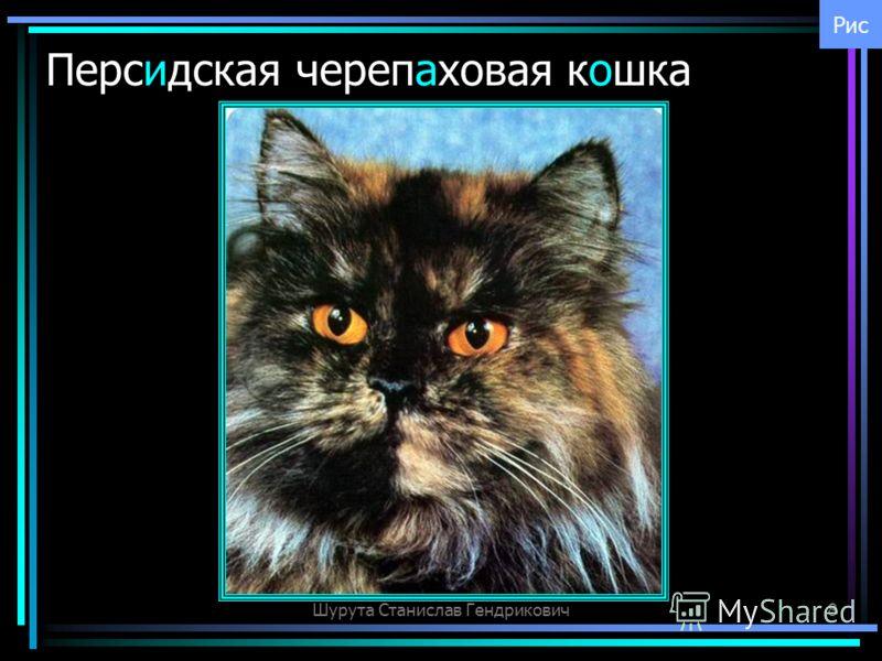 Шурута Станислав Гендрикович8 Персидская черепаховая кошка Рис