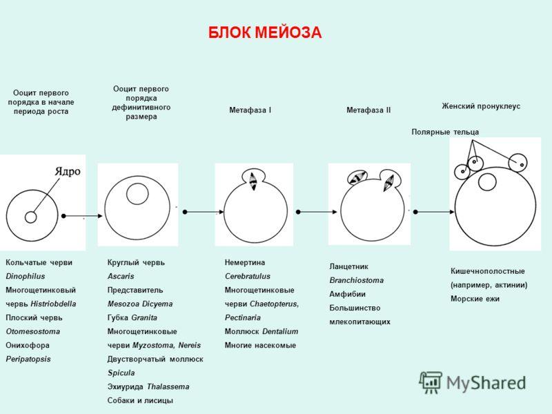 Ооцит первого порядка в начале периода роста Ооцит первого порядка дефинитивного размера Метафаза IМетафаза II Полярные тельца Женский пронуклеус Кольчатые черви Dinophilus Многощетинковый червь Histriobdella Плоский червь Otomesostoma Онихофора Peri